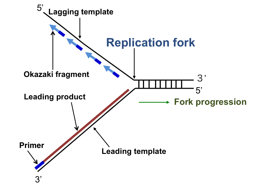 What is replication fork